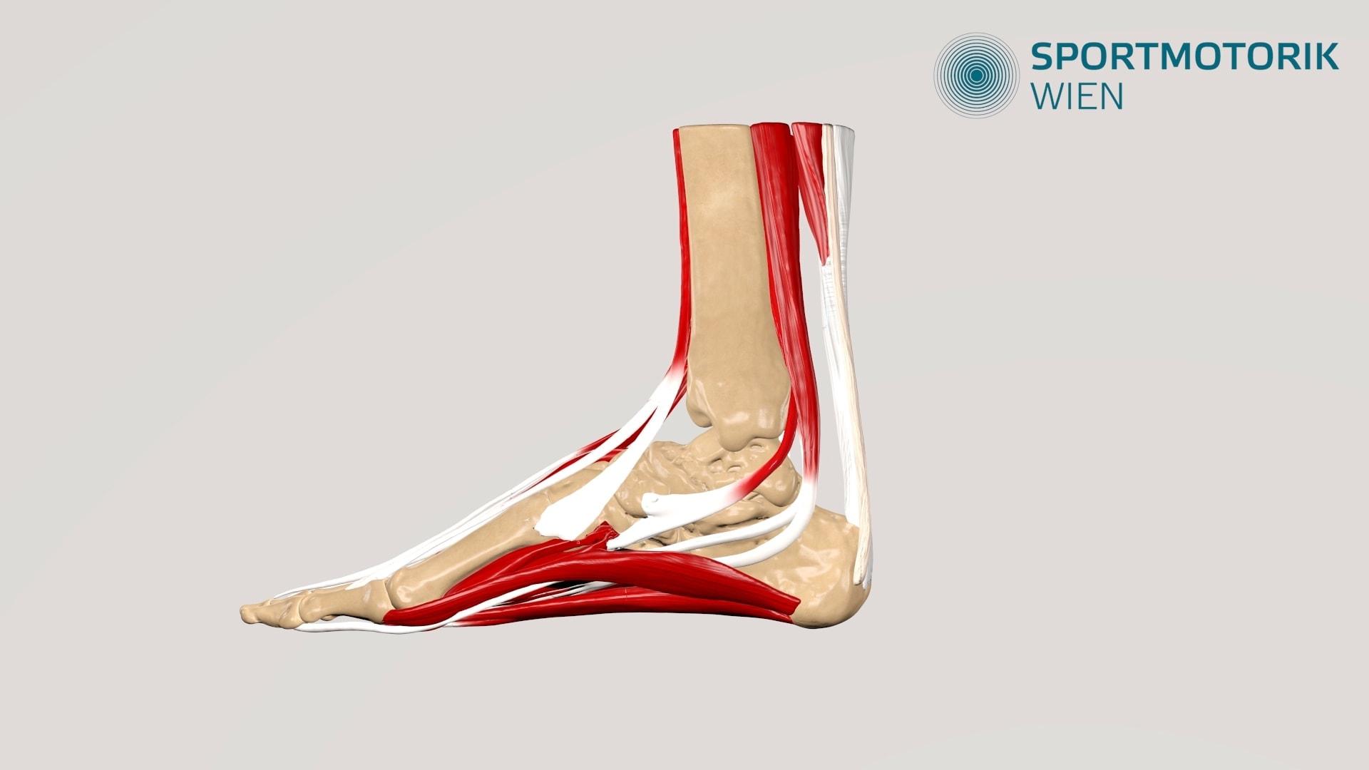 Fuß 3D Animation